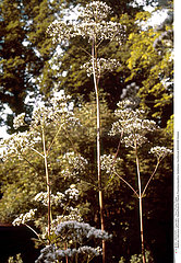 VALERIANE PLANTE MEDICINALE VALERIAN MEDICINAL PLANT