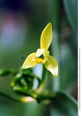 VANILLE PLANTE MEDICINALE VANILLA MEDICINAL PLANT