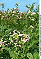 TABAC PLANTE MEDICINALE TOBACCO MEDICINAL PLANT