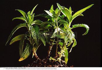 VERONIQUE PLANTE MEDICINALE SPEEDWELL MEDICINAL PLANT