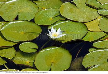 NENUPHAR PLANTE MEDICINALE WATER LILY