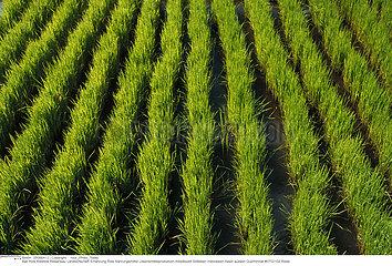 CULTURE RIZ PLANTATION RICE