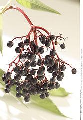 FRUIT SUREAU!!FRUIT ELDER TREE