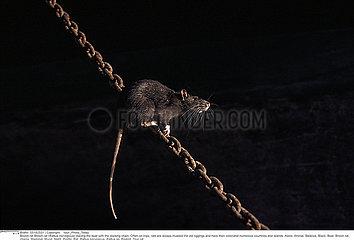SURMULOT!BROWN RAT