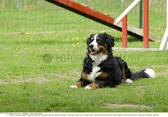 CHIEN BOUVIER BERNOIS!BERNESE MOUNTAIN DOG
