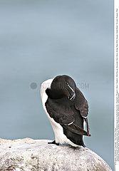 OISEAU PINGOUIN!PENGUIN