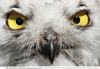 HARFANG DES NEIGES!SNOWY OWL
