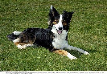 CHIEN BORDER COLLIE!DOG  BORDER COLLIE