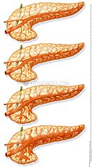 PANCREAS DESSIN!PANCREAS  DRAWING