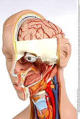 TETE ANATOMIE!ANATOMY  HEAD