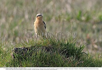 TRAQUET MOTTEUX!NORTHERN WHEATEAR