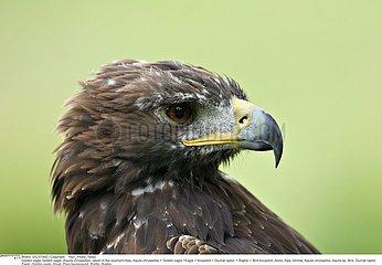 AIGLE ROYAL!GOLDEN EAGLE