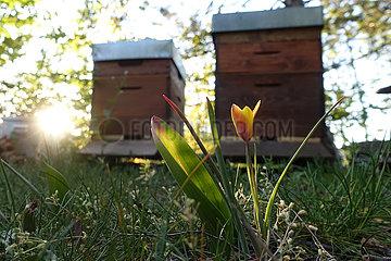 Neuenhagen  Deutschland  Tulpe blueht im Fruehling vor Bienenbeuten