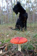 Berlin  Deutschland  Fliegenpilz und Hund in einem Wald