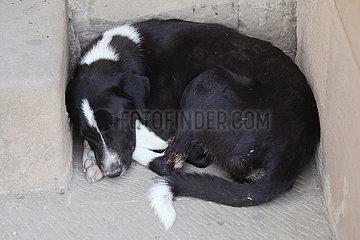 Tiflis  Georgien  Hund schlaeft zusammengerollt auf der Strasse