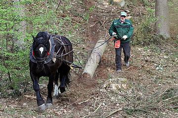 Angermuende  Holzrueckepferd im Einsatz