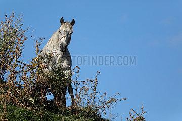 Zegani  Georgien  Pferd schaut im Gebirge hinter einem Strauch aufmerksam zum Betrachter
