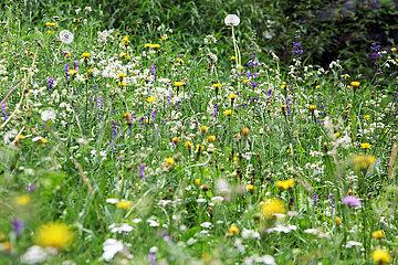 Obertraun  Oesterreich  Blumenwiese
