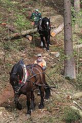 Angermuende  Holzrueckepferde im Einsatz