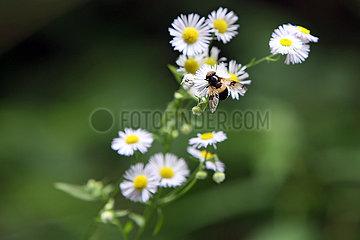 Obertraun  Oesterreich  Gemeine Waldschwebfliege sitzt auf einer Margeritenbluete