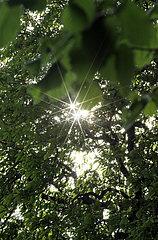 Berlin  Deutschland  Sonne scheint durch die Blaetter einer Kastanie
