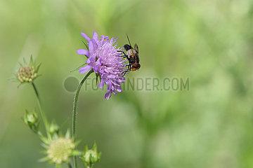 Obertraun  Oesterreich  Gemeine Waldschwebfliege saugt Nektar aus einer Kleebluete