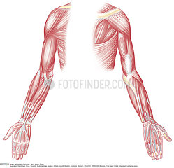 MUSCLE  DRAWING