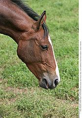 FRENCH SADDLEBRED HORSE