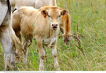 DOMESTIC COW