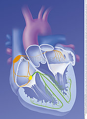 Heart and cardionector system
