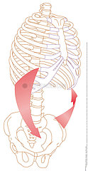 ABDOMINAL MUSCLES  DRAWING Illustration