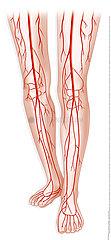 LOWER LIMB  BLOOD CIRCULATION