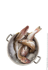 Whiting merlangus or food fish in metal on white background   space for text