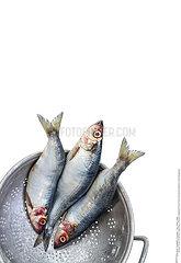 Three Fresh Herring fish in iron sieve isolated on white background