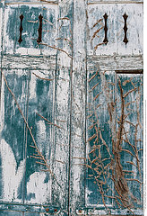 Two old closed windows with dry ivy on a wooden house. Background and texture