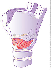 LARYNX  DRAWING Illustration