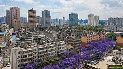CHINA-YUNNAN-KUNMING-Jacarandabaum-FLOWERING (CN)