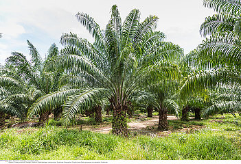 Oil palm trees plantation