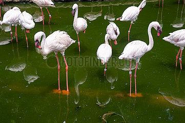 Singapur  Republik Singapur  Flamingos im Jurong Bird Park