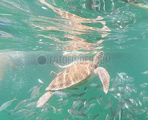 Wasserschildkr?ten vor Barbados