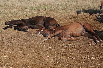 Gestuet Westerberg  Fohlen liegen im Tiefschlaf auf der Koppel