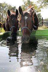 Gestuet Westerberg  Stute und Fohlen trinken gemeinsam Wasser aus einem Trog