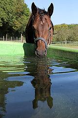 Gestuet Westerberg  Fohlen trinkt Wasser aus einem Trog
