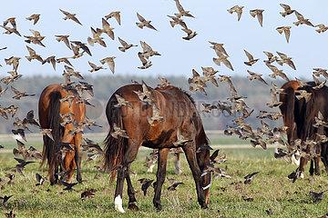 Gestuet Graditz  Vogelschwarm fliegt an grasenden Pferden vorbei