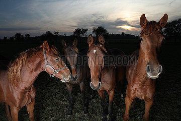 Gestuet Graditz  Pferde am spaeten Abend auf der Weide