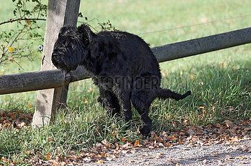Graditz  Deutschland  Hund macht am Wegesrand einen Haufen