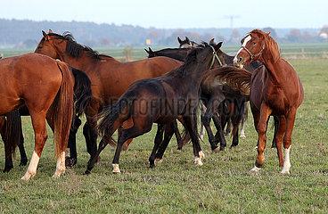 Gestuet Graditz  Pferd droht einem Artgenossen auf der Weide