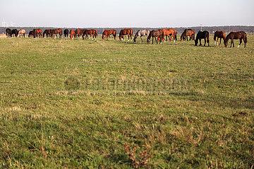 Gestuet Graditz  Pferde grasen auf einer Weide