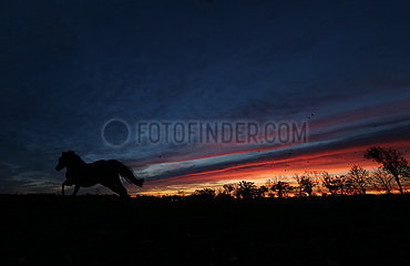 Neuenhagen  Silhouette: Pferd bei Morgendaemmerung im Galopp auf einer Koppel