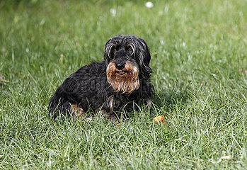Neuenhagen  Deutschland  Rauhaardackel sitzt im Gras